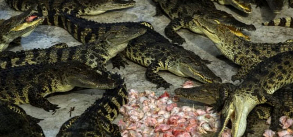 Thailand,Rumah bagi Peternakan Buaya Terbesar di Dunia