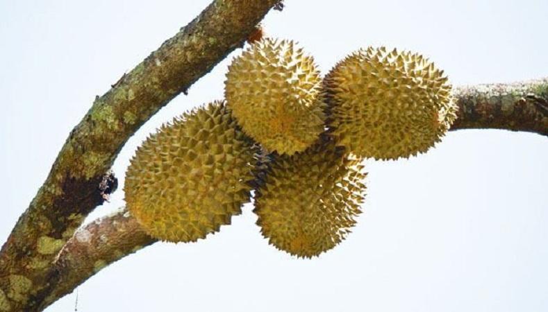 200.000 Kilogram Durian Montong Ludes Dalam 60 Detik