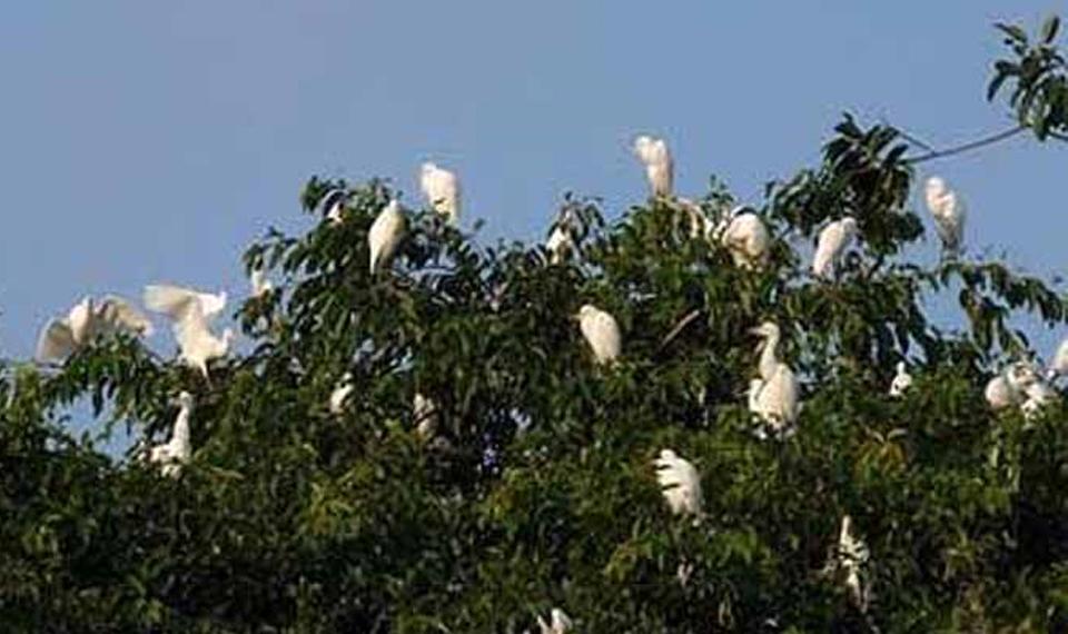 Burung Kokoan di Desa Petulu – Ubud
