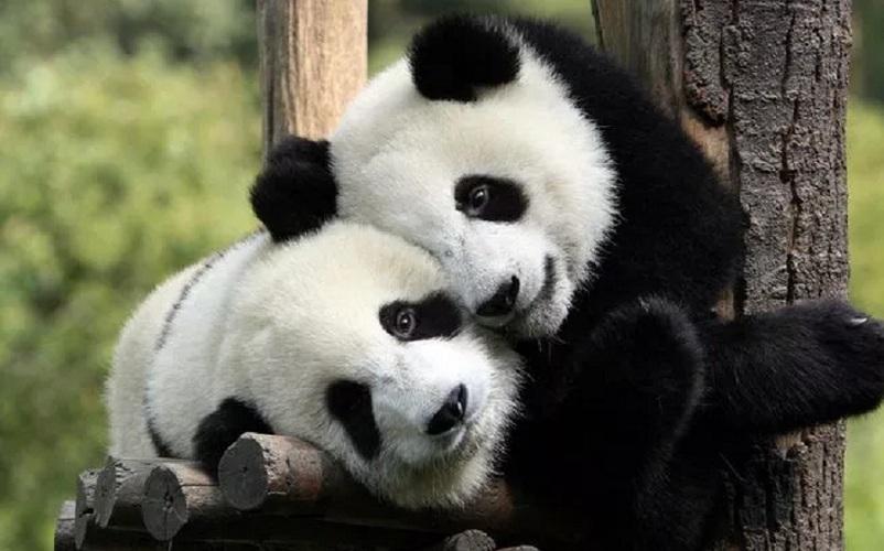 Dua Panda Lengkapi Koleksi Bonbin Kopenhagen