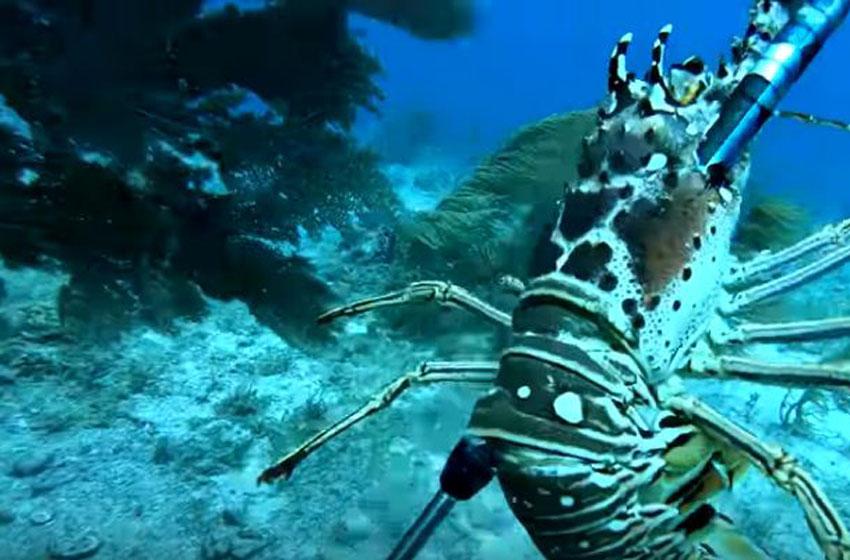 Soal Ekspor Benih Lobster, Ini Jawaban Presiden