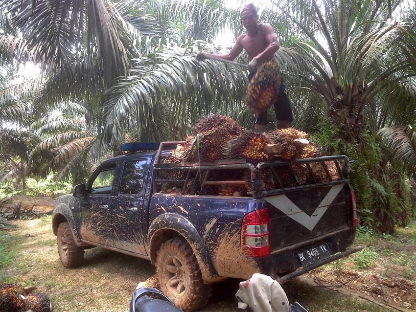 Panen kelapa sawit di Riau. (ist)