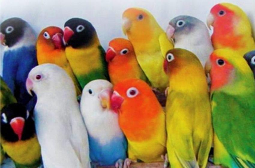 Love Bird yang Bikin Gemeeesss….