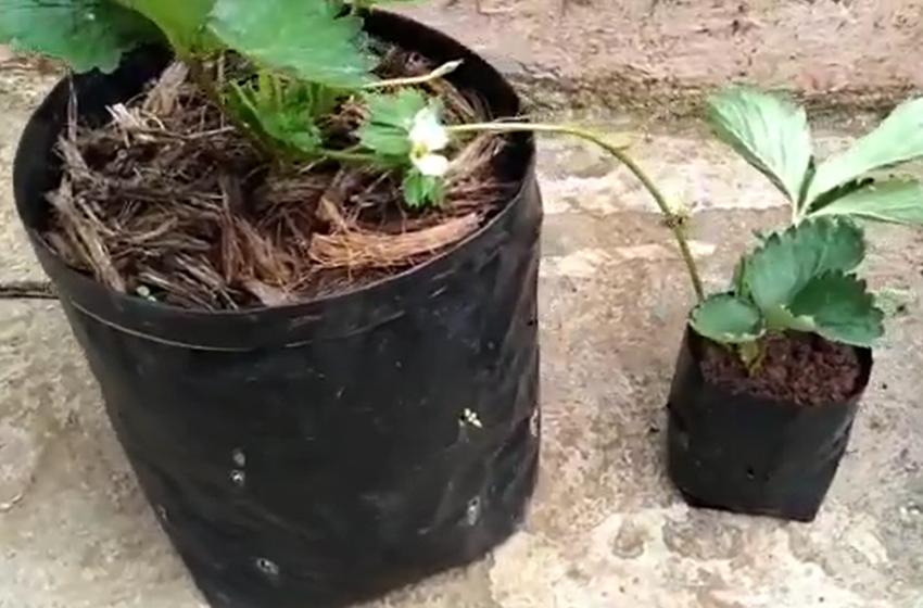 Cara Mudah Budidaya Strawberry