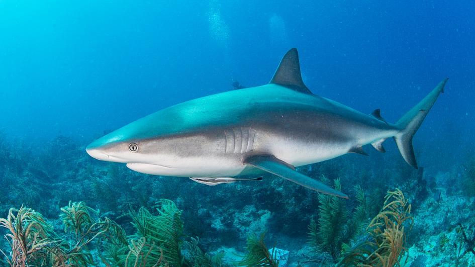 Shark squalene dapat digunakan dalam vaksin Covid-19 – (Foto: Getty via Canva)