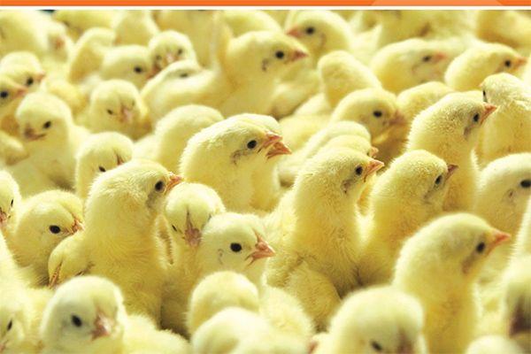 In Ovo Raih  Dana Segar untuk Cegah Pemusnahan Anak Ayam Pejantan